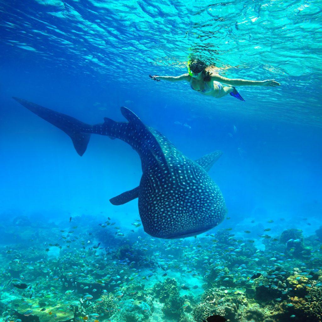 Woman snorkeling beside a whale shark in Cebu
