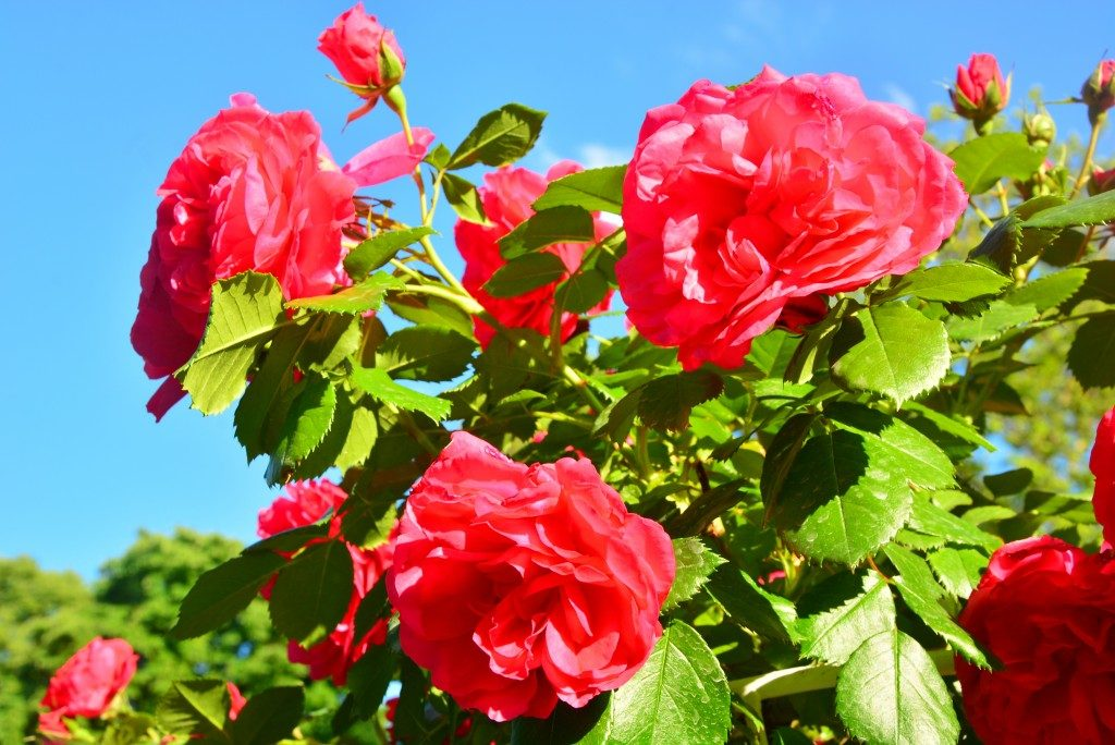 red roses in the garden blooming under the sun