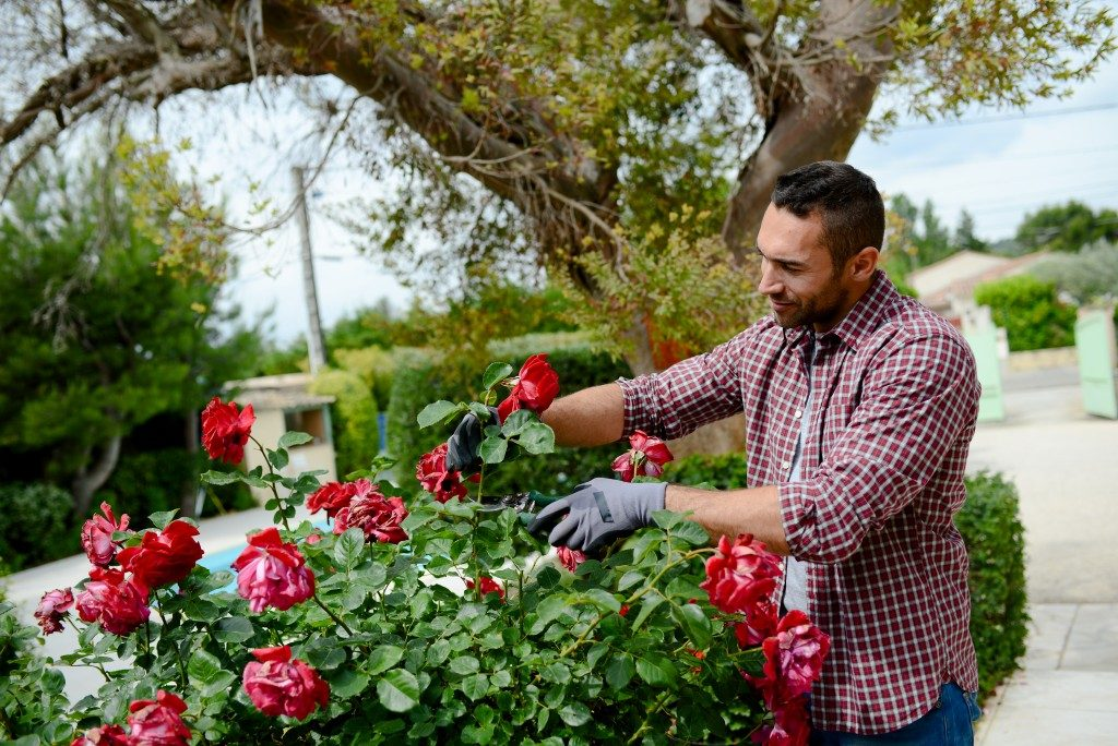 man feeding the roses in his yard